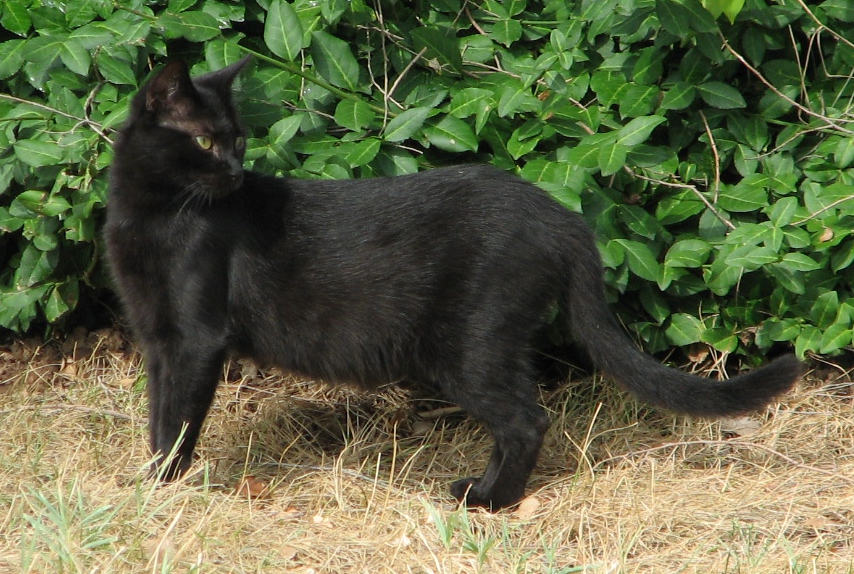 Picture of a black cat I took from Wikipedia. It was too dark outside to use mine