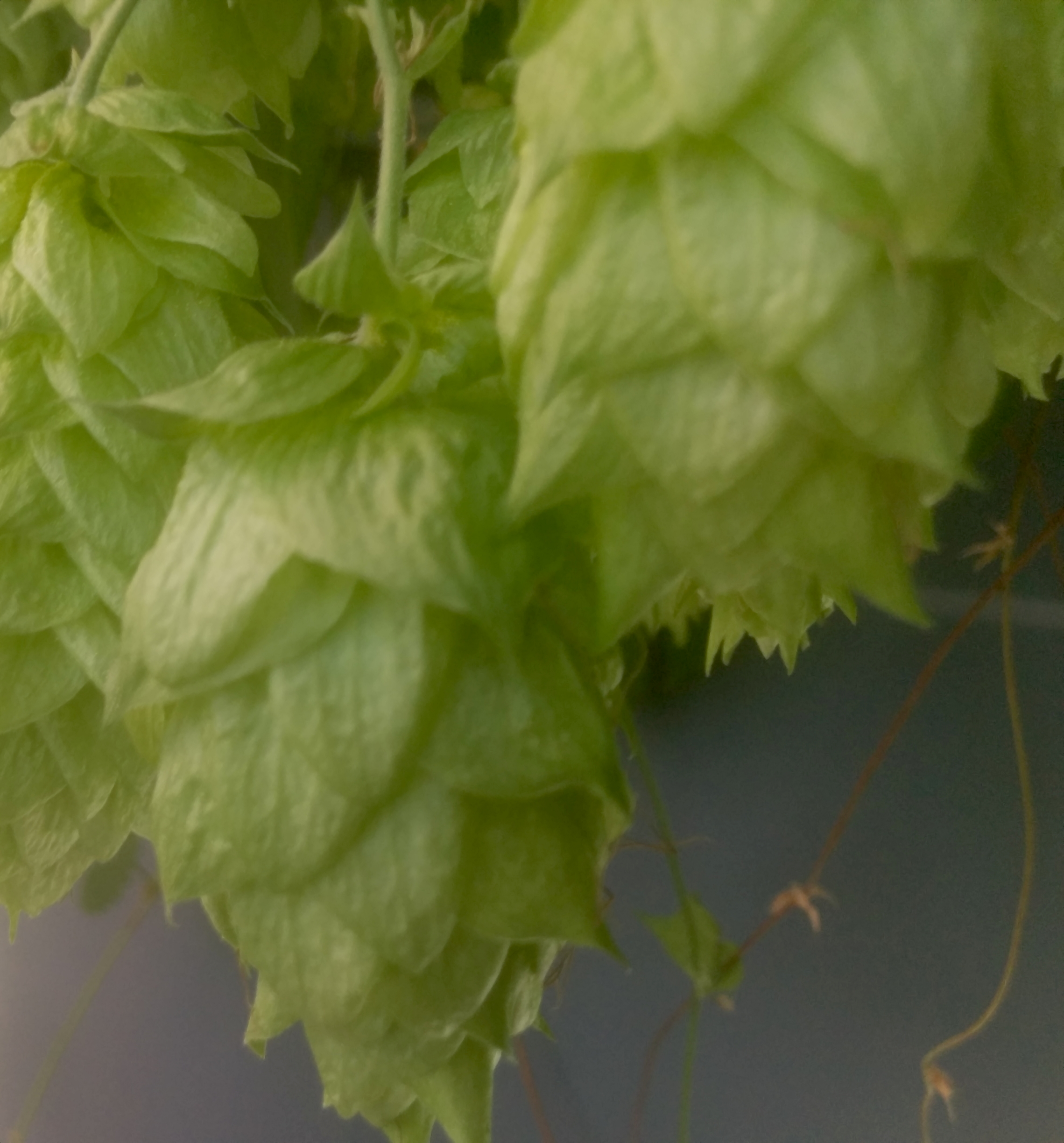 Closeup of my chinook hops on the bines